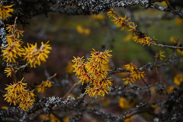 witchhazel flowers