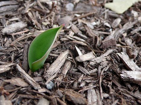 Tulip tip in springtime