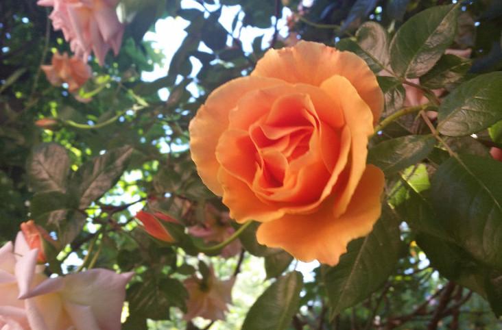 Priory rose