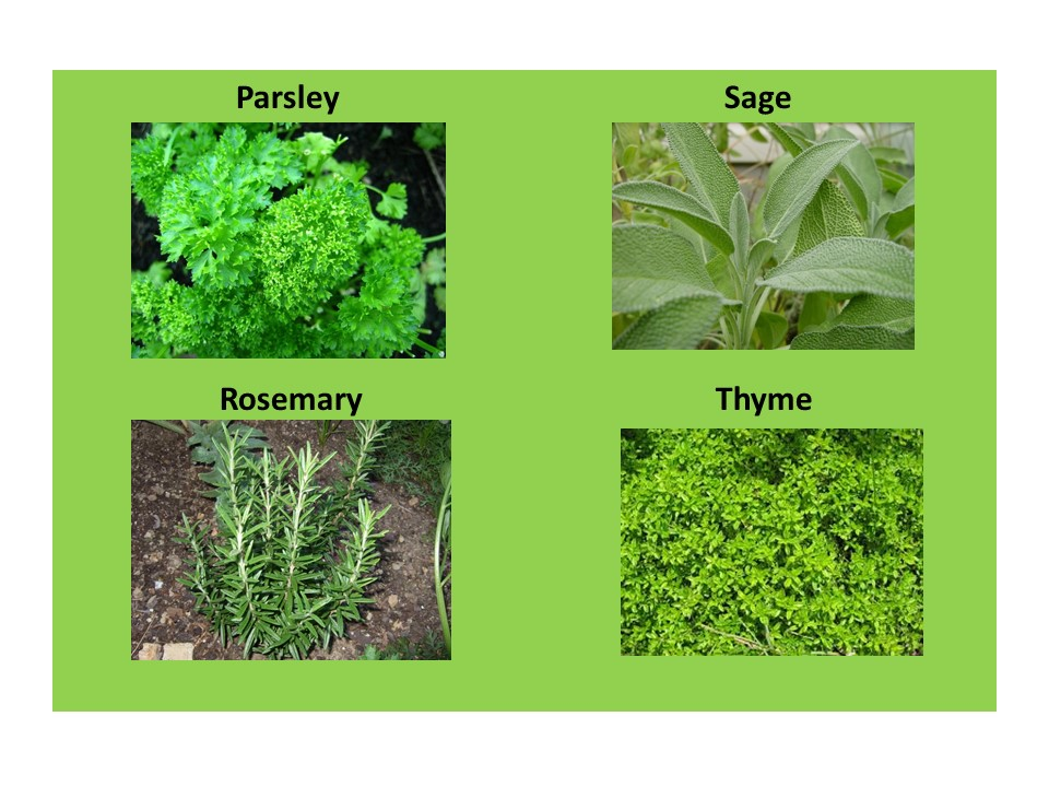 EXAMPLES OF HERBS PICTURED ROSEMARY PARSLEY SAGE THYME