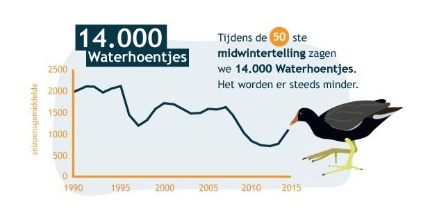 Tijdens de 50ste midwintertelling zagen we 14.000 waterhoentjes. Het worden er steeds minder