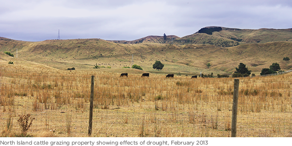 North Island cattle grazing property showing effects of drought, February 2013
