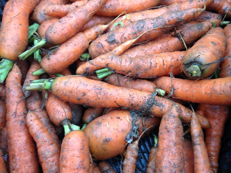 Carrots from Roots to River Farm