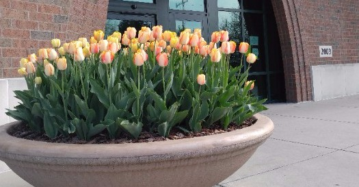 Tulips outside the library's entrance