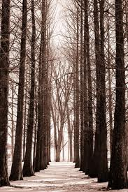 a path through tall trees
