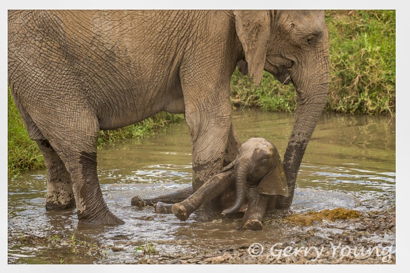 Elephant mum helps tumbling calf