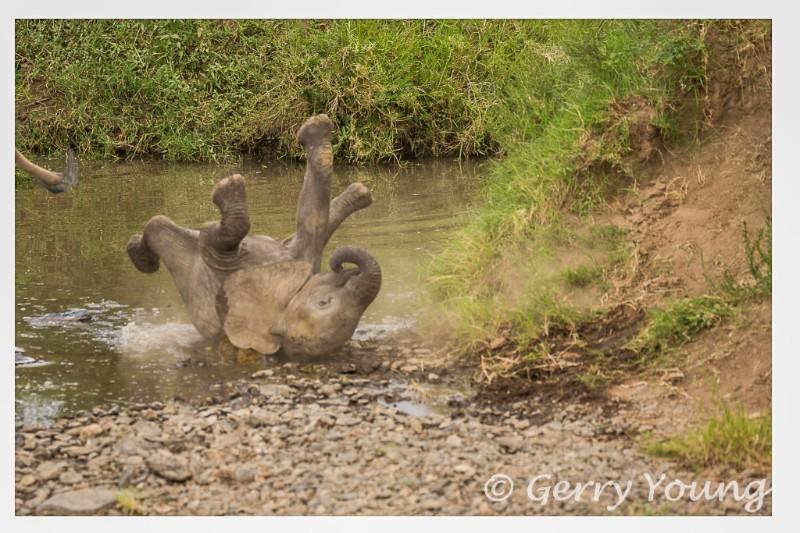 Elephant calf lands with a bump at Kicheche Mara