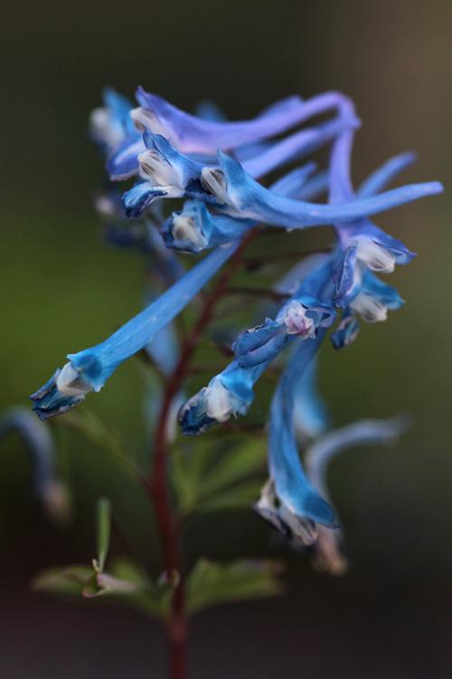 Corydalis 'Craigton Blue'
