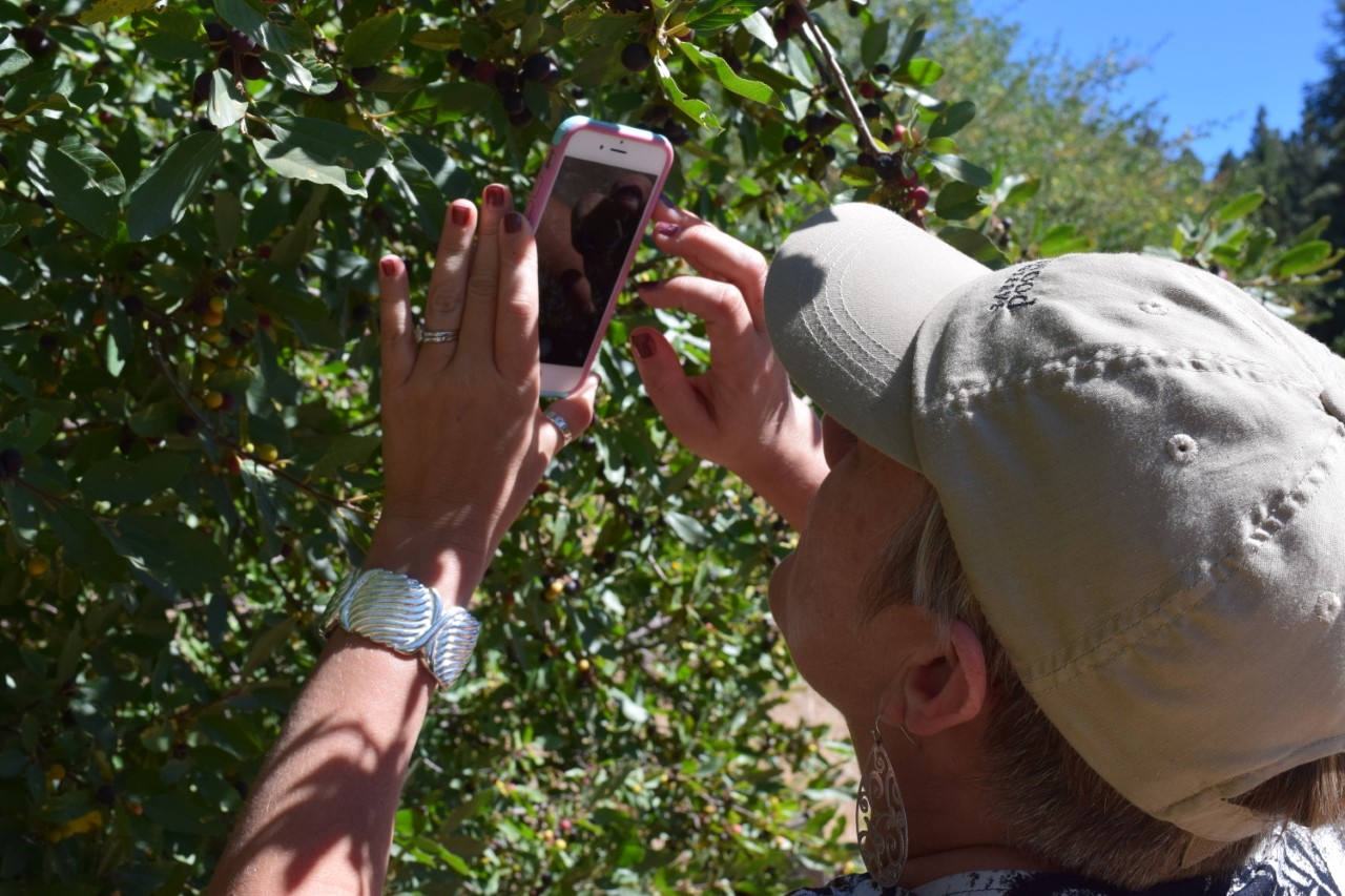 A California Naturalist taking a picture of a tree to upload to iNaturalist.
