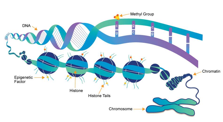 あなたはMTHFR遺伝子の突然変異を持っていますか?