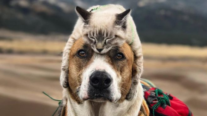 Photo of a big brown dog wearing a small cat as a hat.