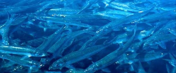 Pacific herring photo by Mary Whalen, USGS.
