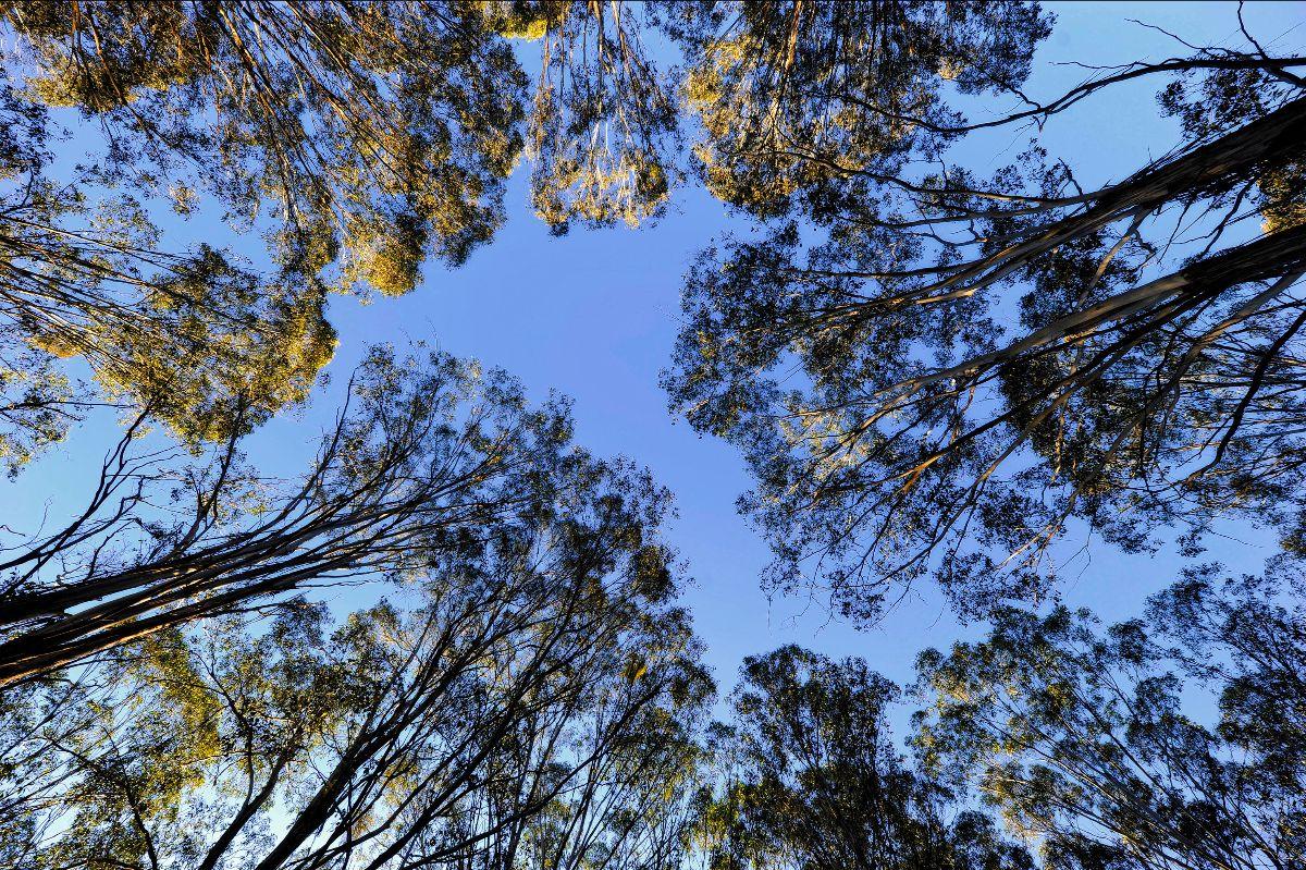 Gum trees framing blue sky