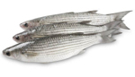 What is the best weaning diet for grey mullet?