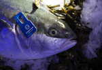 NEWS  Nutreco invests in Kingfish Zeeland to boost US and European supplies of yellowtail kingfish