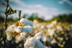 Cottonseed protein approved for aquafeeds