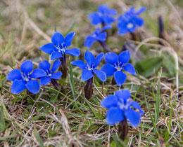 Spring Gentian wild flowers Burren