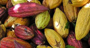 Cacao beans- how this gift helps