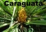 Caraguatá