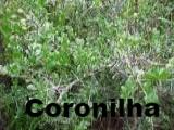 Coronilha