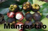 Mangostão