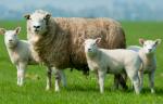 Inocuidad sustentable en sistemas de producción ovina