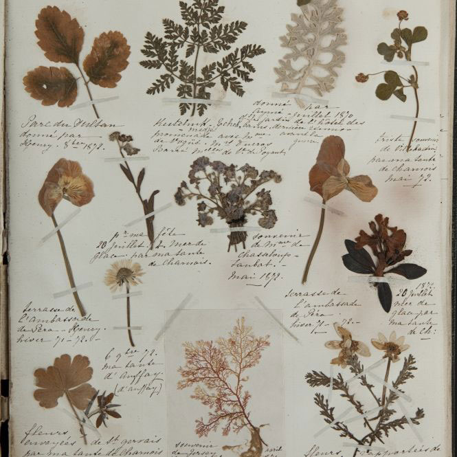A page from a 19th Century herbarium