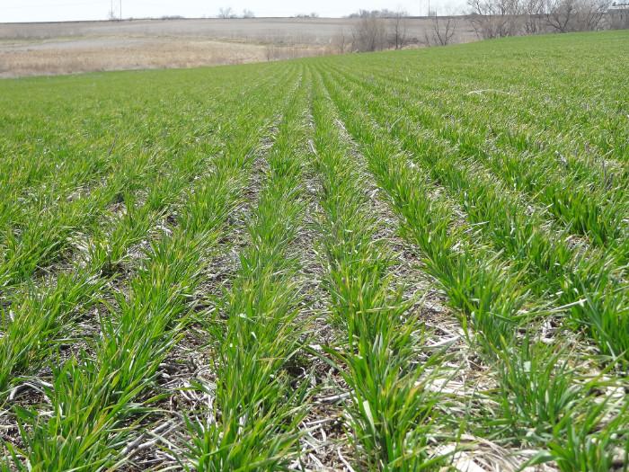 Wheat field in eastern Nebraska, April 2018
