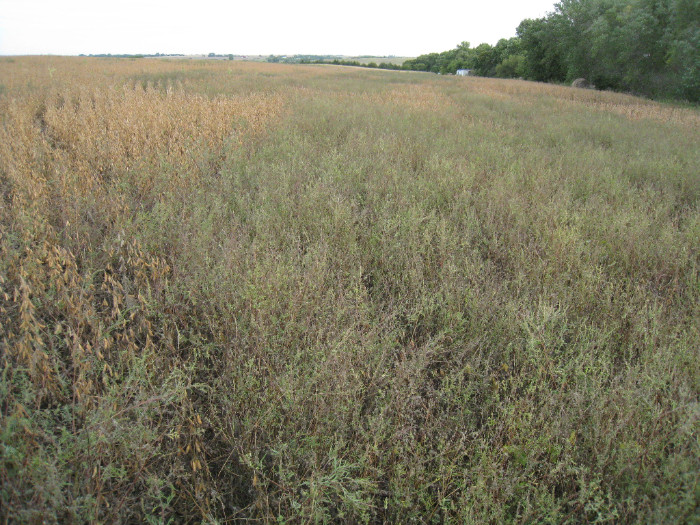 Glyphosate-resistant ragweed in soybean