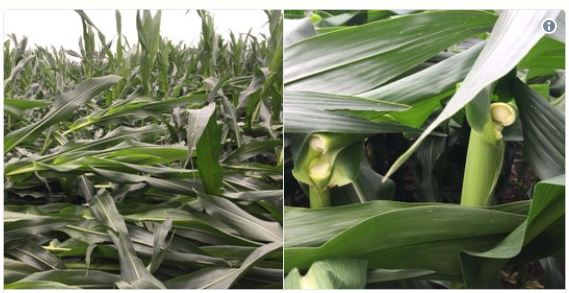 Greensnap in corn in Dodge County