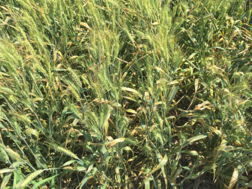 Bacterial leaf streak in wheat