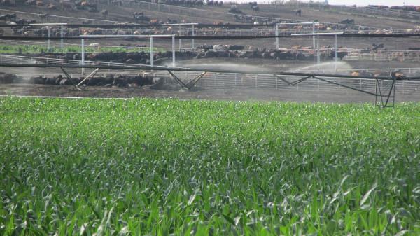 Cattle feedlot near a center pivot irrigating corn