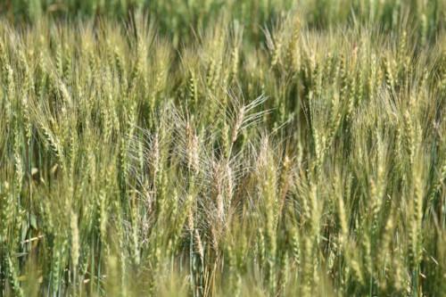 Take-all disease in wheat