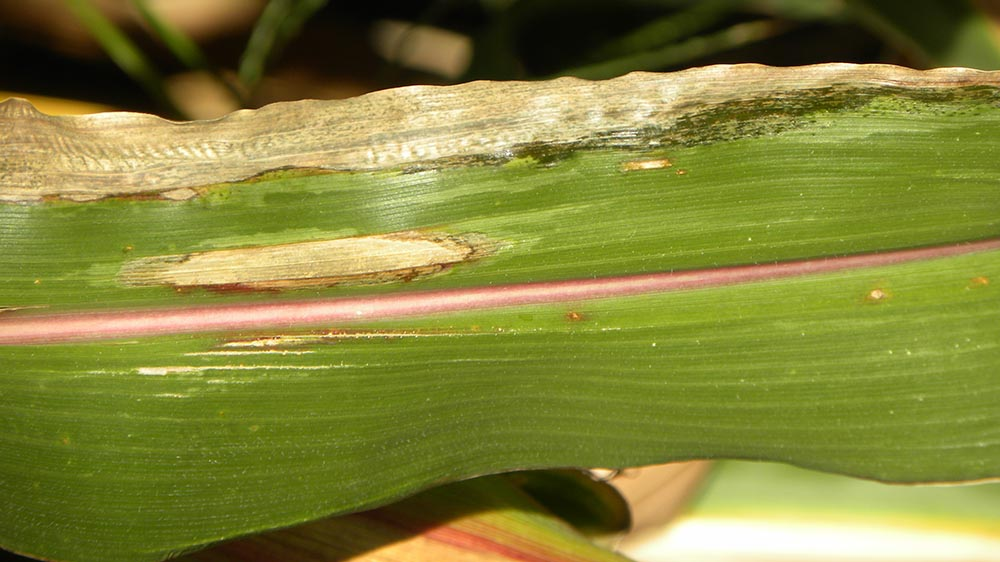Corn leaf with Goss's bacterial wilt and blight and northern corn leaf blight