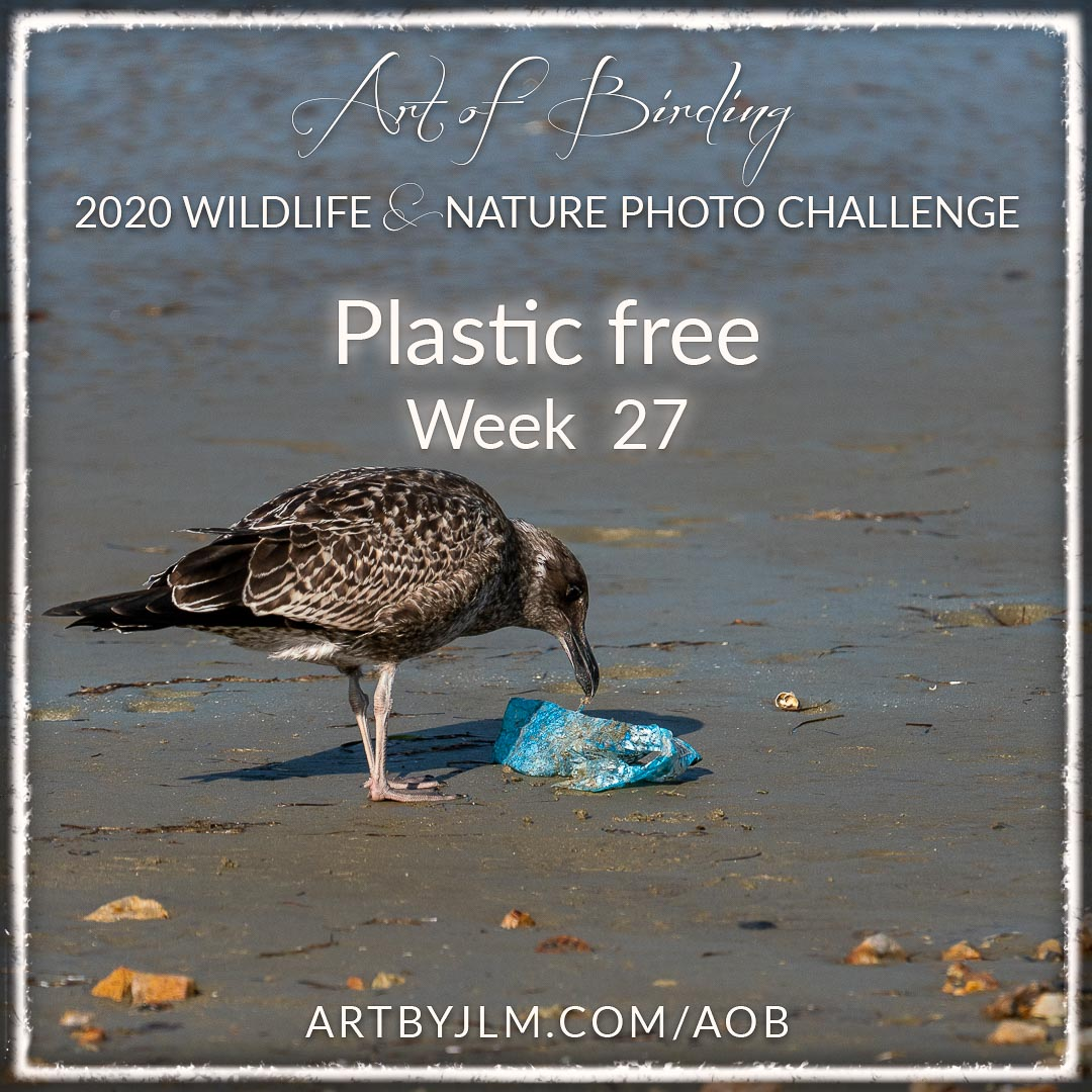 Seagull examing plastic litter