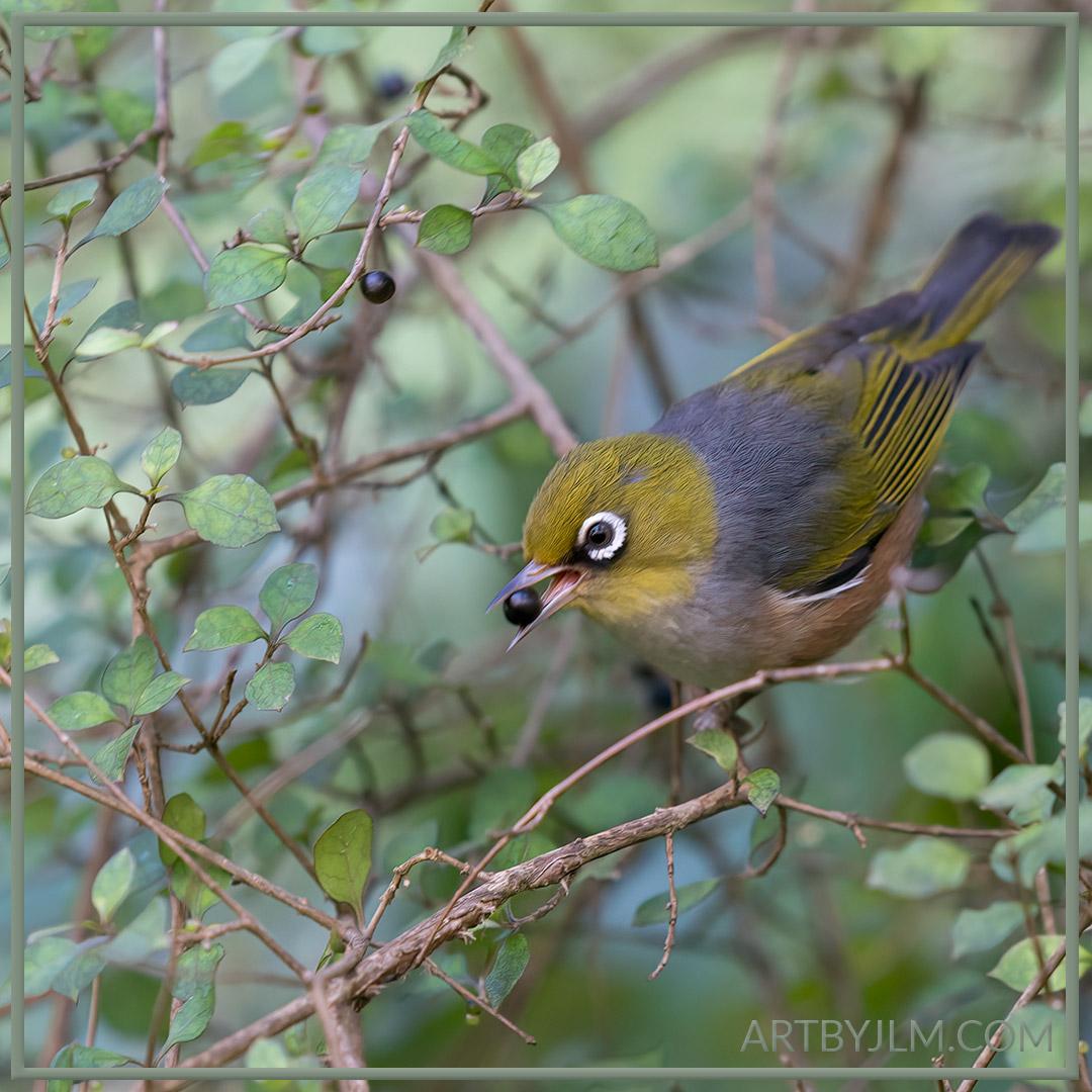 Tauhou | waxeye | silvereye eating Coprosma berries