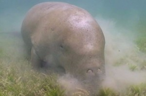 Dugong image: SEQ Catchments