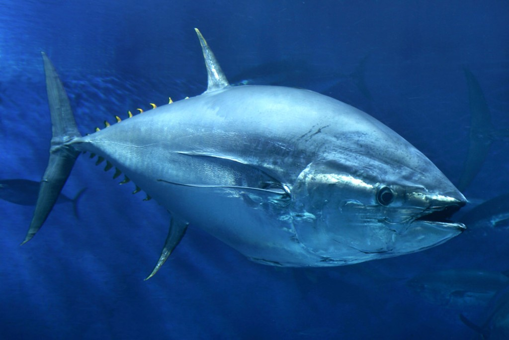 Pacific bluefin tuna in the Open Sea exhibit at the Monterey Bay Aquarium. Credit: Monterey Bay Aquarium