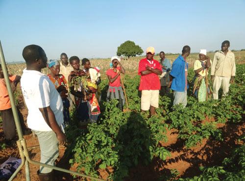 Improving potato productivity in Mozambique