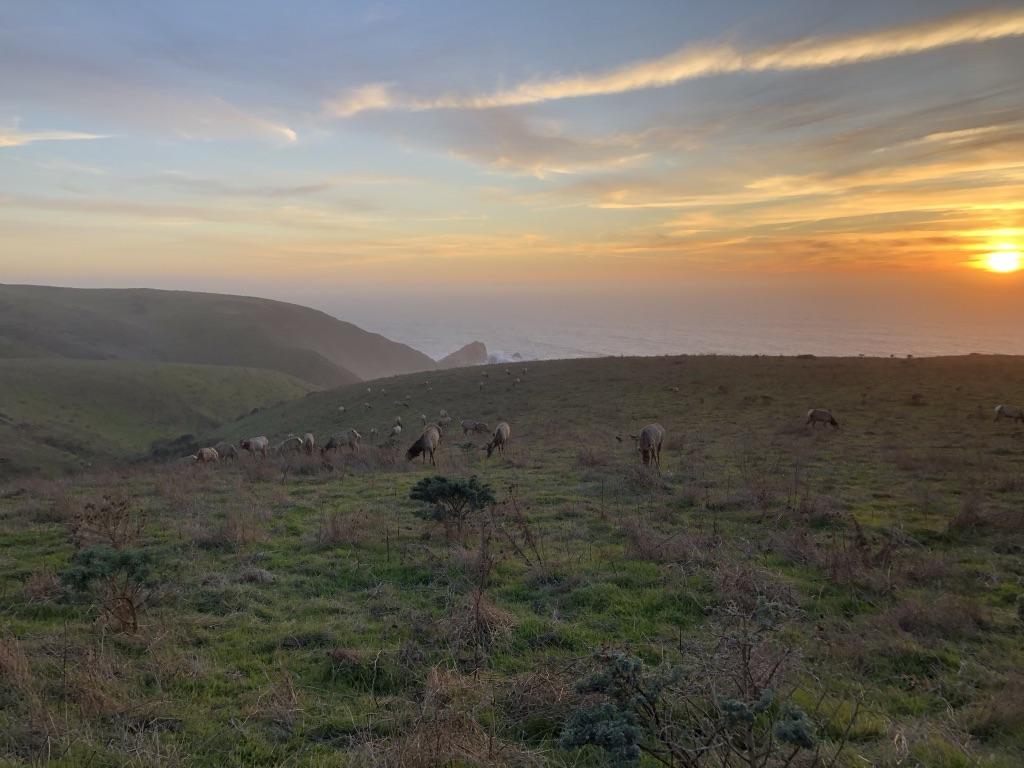 Tule Elk at sunset at Pt Reyes
