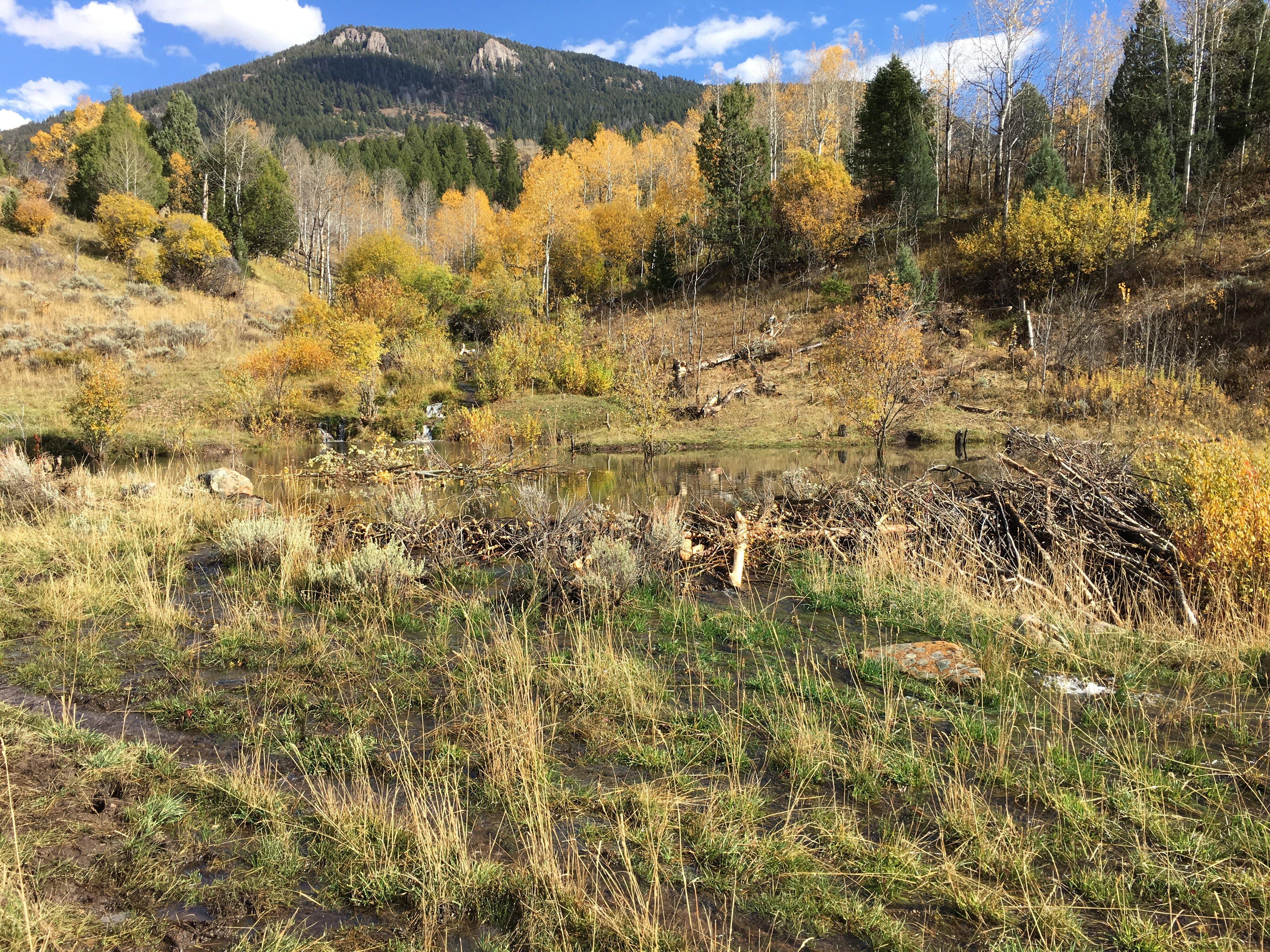 Beaver restoration area, Swan Creek, Logan Canyon, Utah.