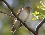 Seen in Bryant Park During Fall Birding Tours - Veery aka Willow Thrush