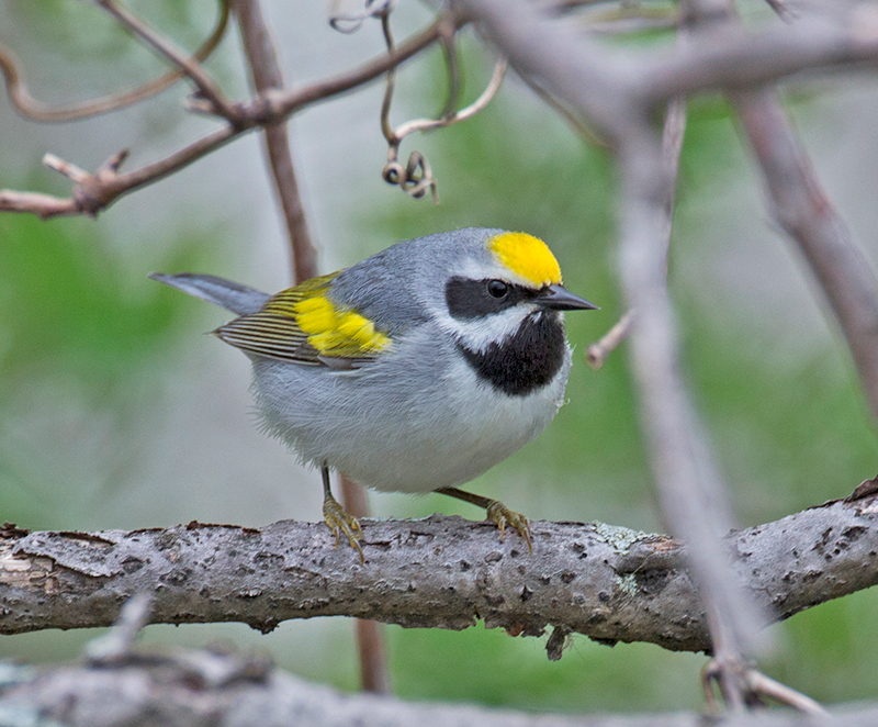 Golden-winged Warbler - Pablo Cervantes Daza