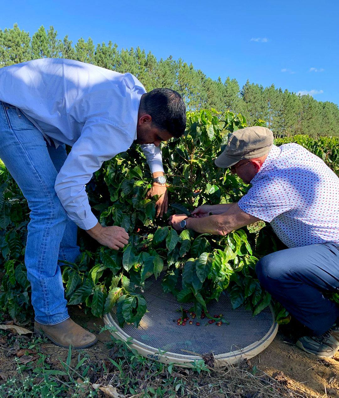 Coffee bean being harvested at Daterra Estate