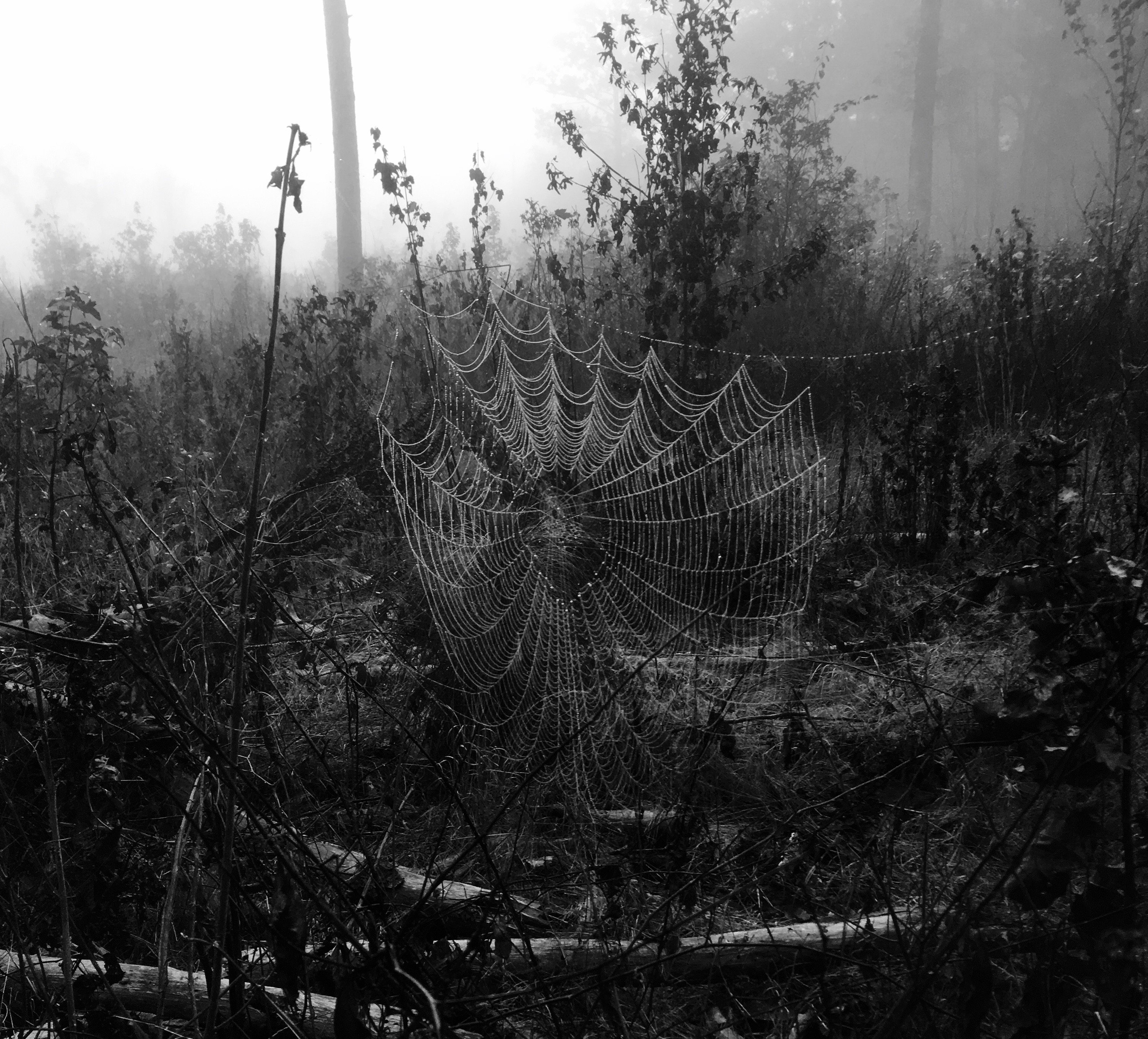 Spider web in our woods.