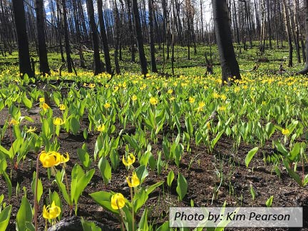 photo of yellow glacier lilies under burned trees