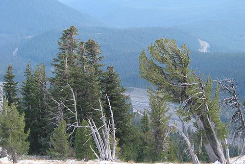 Stand of whitebark pines
