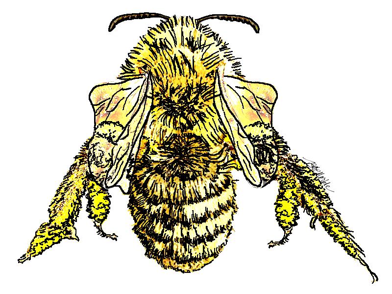 Adrena hirticincta_native bee