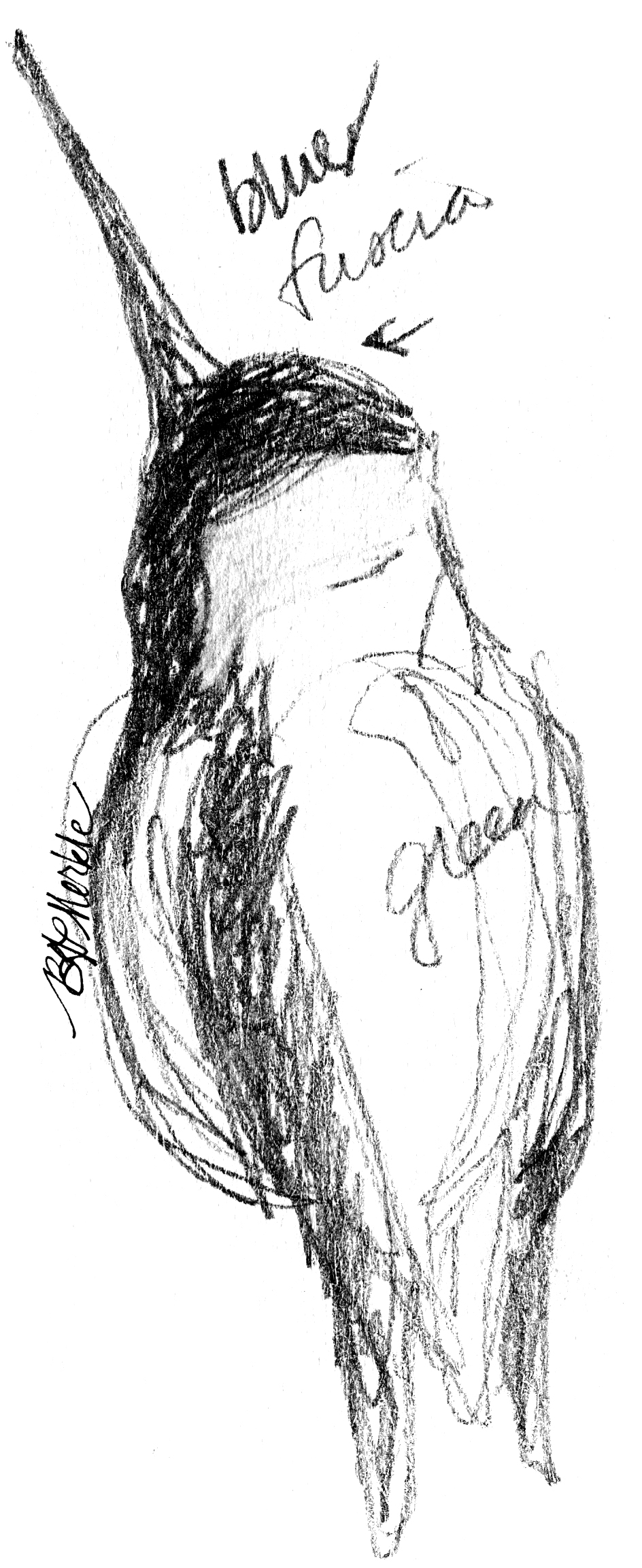 Illustration: hummingbird