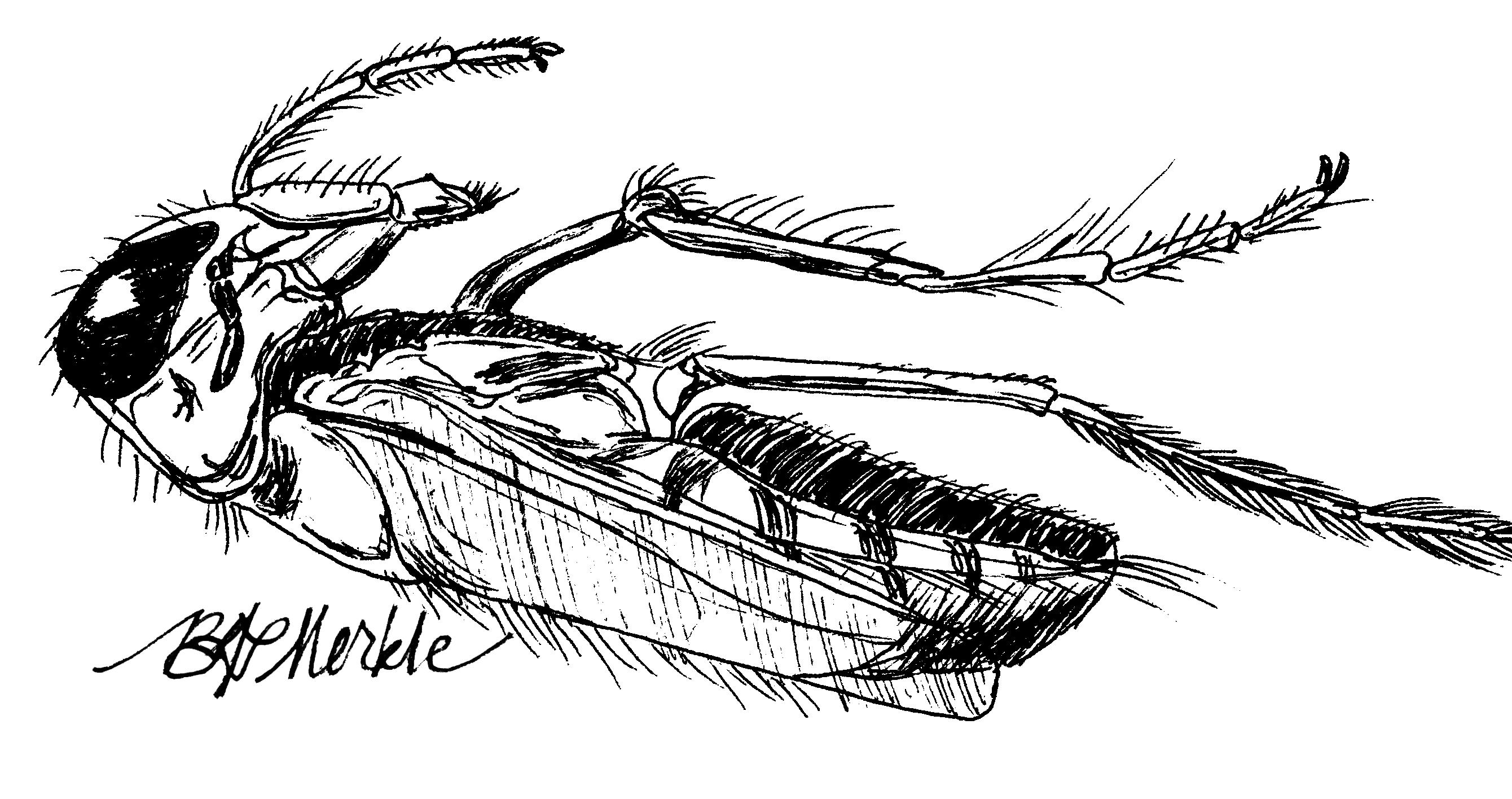 Illustration: backswimmer (acquatic beetle)